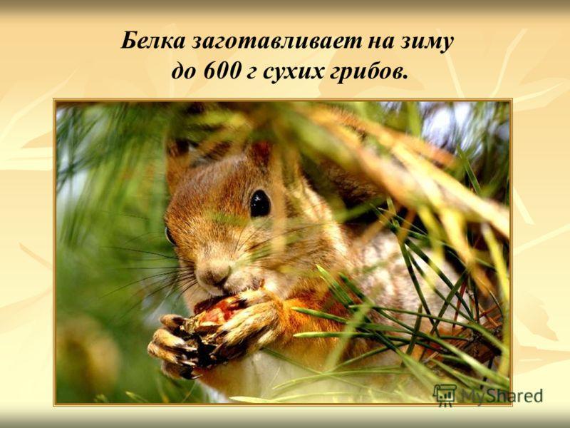 Белка заготавливает на зиму до 600 г сухих грибов. Белка заготавливает на зиму до 600 г сухих грибов.