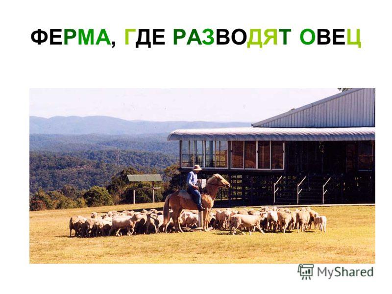 ФЕРМА, ГДЕ РАЗВОДЯТ ОВЕЦ