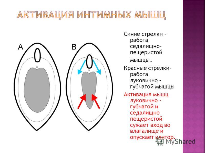 Синие стрелки – работа седалищно- пещеристой мышцы. Красные стрелки– работа луковично – губчатой мышцы Активация мышц луковично - губчатой и седалищно пещеристой сужает вход во влагалище и опускает клитор.