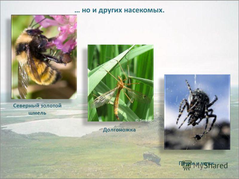 … но и других насекомых. Северный золотой шмель Долгоножка Пауки и мухи