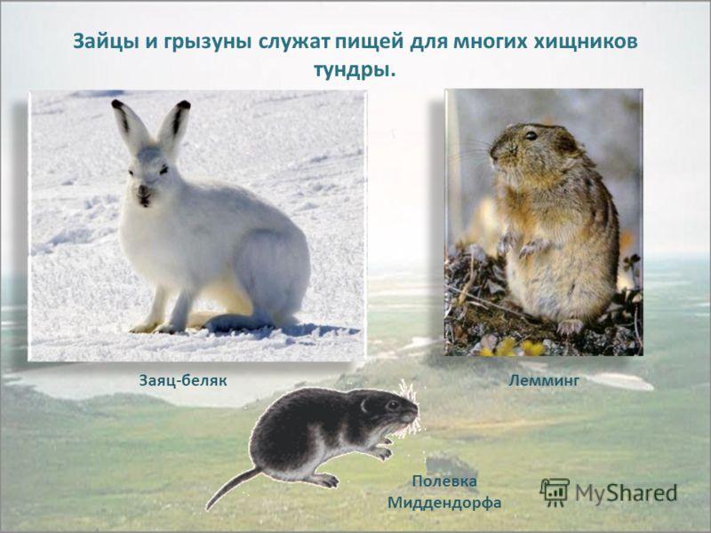 Полевка Миддендорфа ЛеммингЗаяц-беляк Зайцы и грызуны служат пищей для многих хищников тундры.
