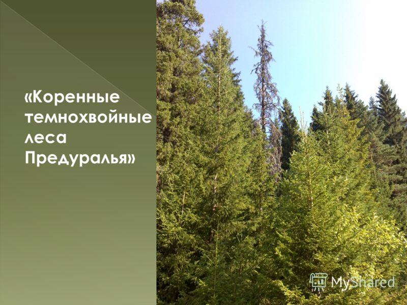 «Коренные темнохвойные леса Предуралья» 29