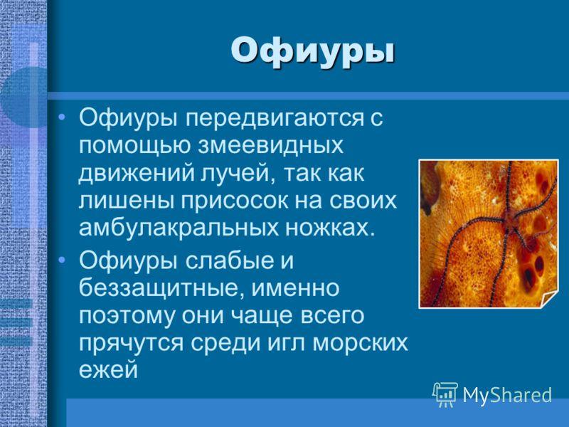 Офиуры Офиуры передвигаются с помощью змеевидных движений лучей, так как лишены присосок на своих амбулакральных ножках. Офиуры слабые и беззащитные, именно поэтому они чаще всего прячутся среди игл морских ежей
