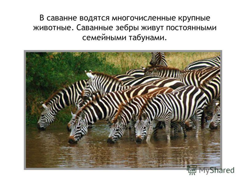 В саванне водятся многочисленные крупные животные. Саванные зебры живут постоянными семейными табунами.