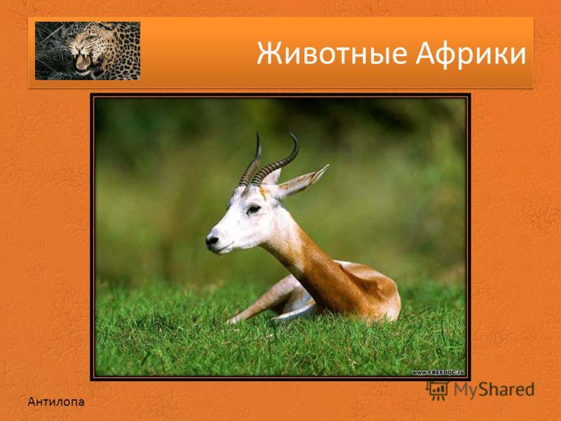 Животные Африки Антилопа