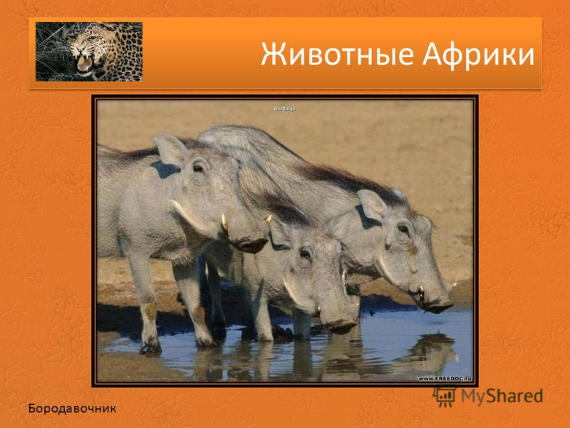 Животные Африки Бородавочник