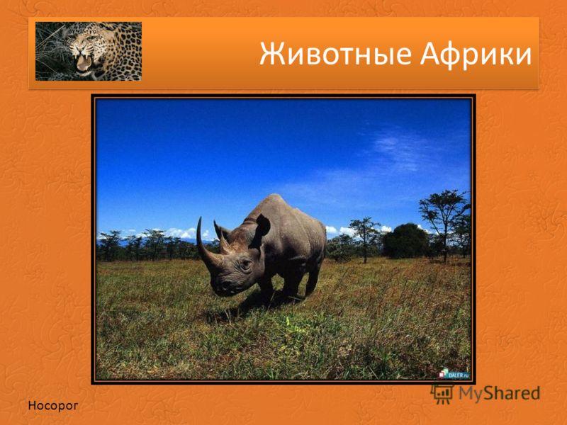 Животные Африки Носорог