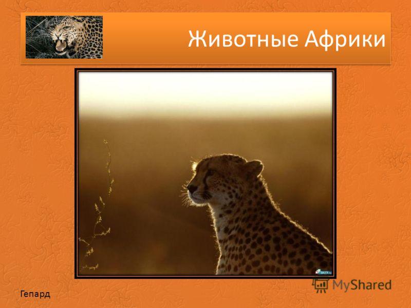 Животные Африки Гепард