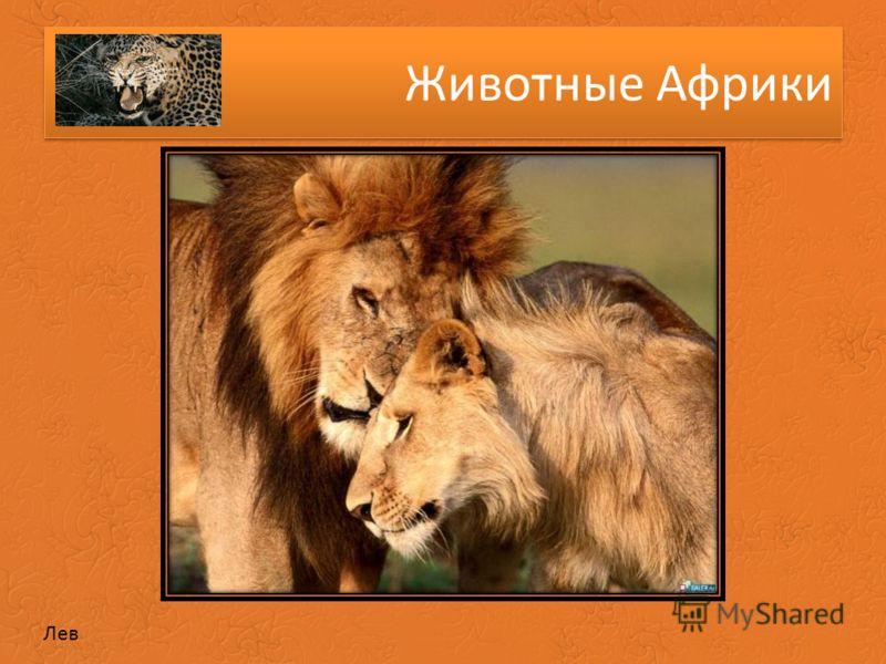 Животные Африки Лев
