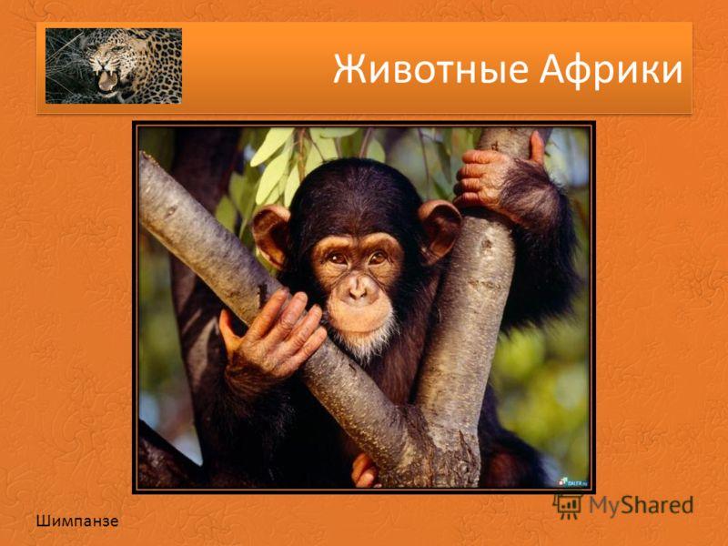 Животные Африки Шимпанзе