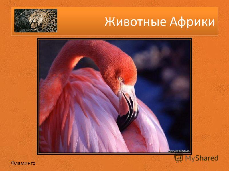 Животные Африки Фламинго