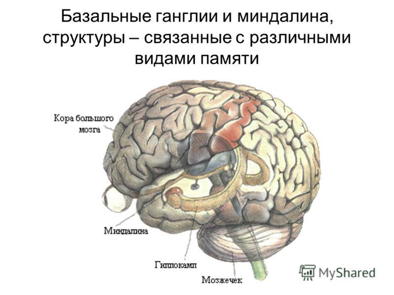 Базальные ганглии и миндалина, структуры – связанные с различными видами памяти