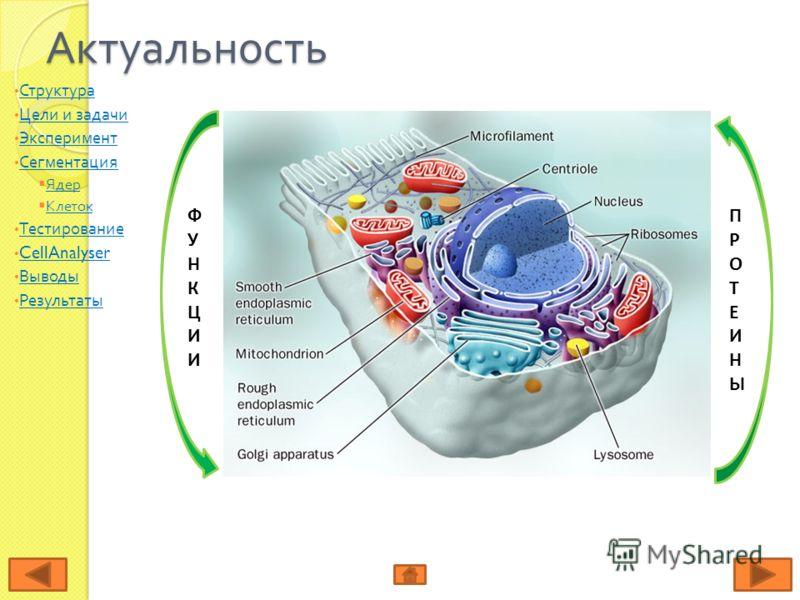 Актуальность ФУНКЦИИФУНКЦИИ ПРОТЕИНЫПРОТЕИНЫ Структура Цели и задачи Цели и задачи Эксперимент Сегментация Ядер Клеток Тестирование CellAnalyser Выводы Результаты