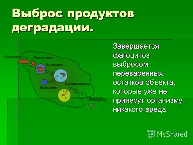 Выброс продуктов деградации. Завершается фагоцитоз выбросом переваренных остатков объекта, которые уже не принесут организму никакого вреда.