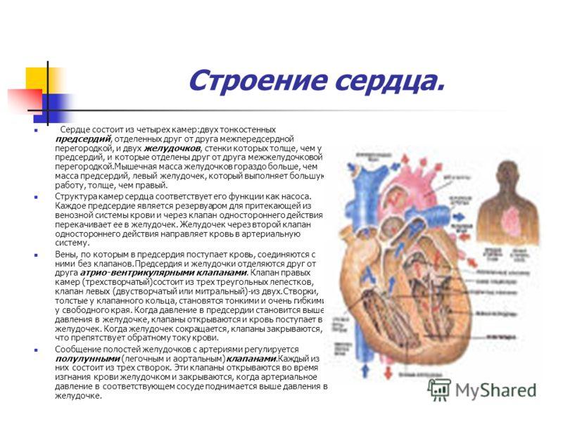 Строение сердца. Сердце состоит из четырех камер:двух тонкостенных предсердий, отделенных друг от друга межпередсердной перегородкой, и двух желудочков, стенки которых толще, чем у предсердий, и которые отделены друг от друга межжелудочковой перегоро