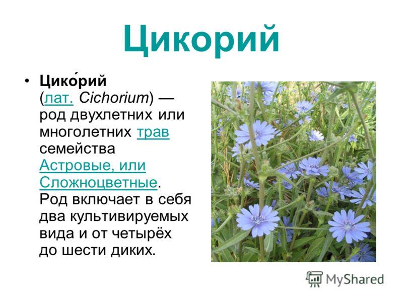 Цикорий Цико́рий (лат. Cichorium) род двухлетних или многолетних трав семейства Астровые, или Сложноцветные. Род включает в себя два культивируемых вида и от четырёх до шести диких.лат.трав Астровые, или Сложноцветные