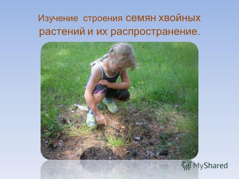 Изучение строения семян хвойных растений и их распространение.