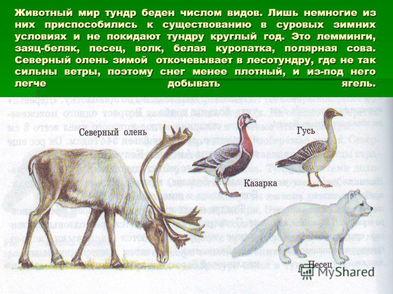 Животный мир тундр беден числом видов. Лишь немногие из них приспособились к существованию в суровых зимних условиях и не покидают тундру круглый год. Это лемминги, заяц-беляк, песец, волк, белая куропатка, полярная сова. Северный олень зимой откочев
