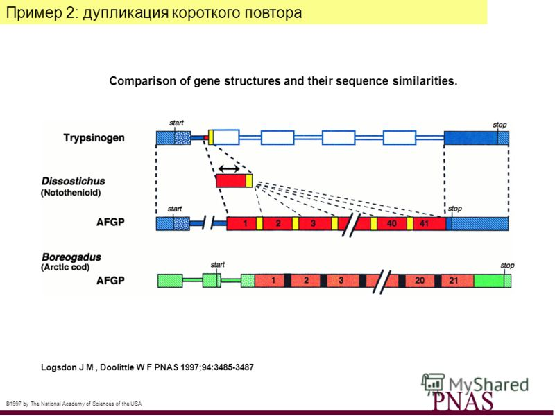 Comparison of gene structures and their sequence similarities. Logsdon J M, Doolittle W F PNAS 1997;94:3485-3487 ©1997 by The National Academy of Sciences of the USA Пример 2: дупликация короткого повтора
