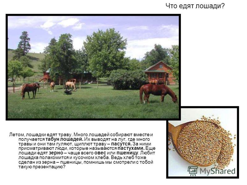 Что едят лошади? Летом, лошадки едят траву. Много лошадей собирают вместе и получается табун лошадей. Их выводят на луг, где много травы и они там гуляют, щиплют траву – пасутся. За ними присматривают люди, которые называются пастухами. Еще лошади ед