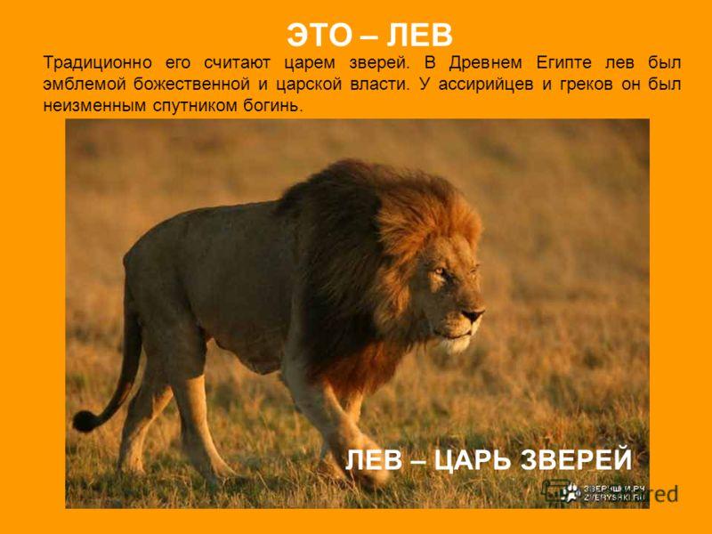 Традиционно его считают царем зверей. В Древнем Египте лев был эмблемой божественной и царской власти. У ассирийцев и греков он был неизменным спутником богинь. ЭТО – ЛЕВ ЛЕВ – ЦАРЬ ЗВЕРЕЙ
