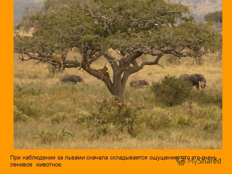 При наблюдении за львами сначала складывается ощущение, что это очень ленивое животное.