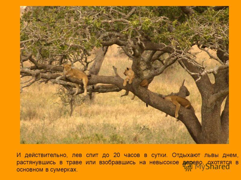 И действительно, лев спит до 20 часов в сутки. Отдыхают львы днем, растянувшись в траве или взобравшись на невысокое дерево, охотятся в основном в сумерках.