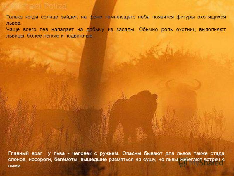 Только когда солнце зайдет, на фоне темнеющего неба появятся фигуры охотящихся львов. Чаще всего лев нападает на добычу из засады. Обычно роль охотниц выполняют львицы, более легкие и подвижные. Главный враг у льва - человек с ружьем. Опасны бывают д