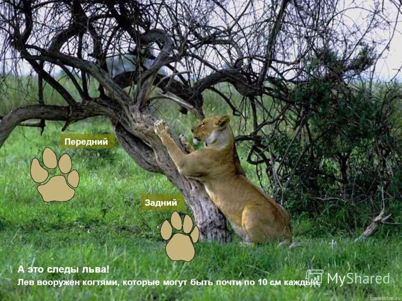 А это следы льва! Передний Задний Лев вооружен когтями, которые могут быть почти по 10 см каждый.