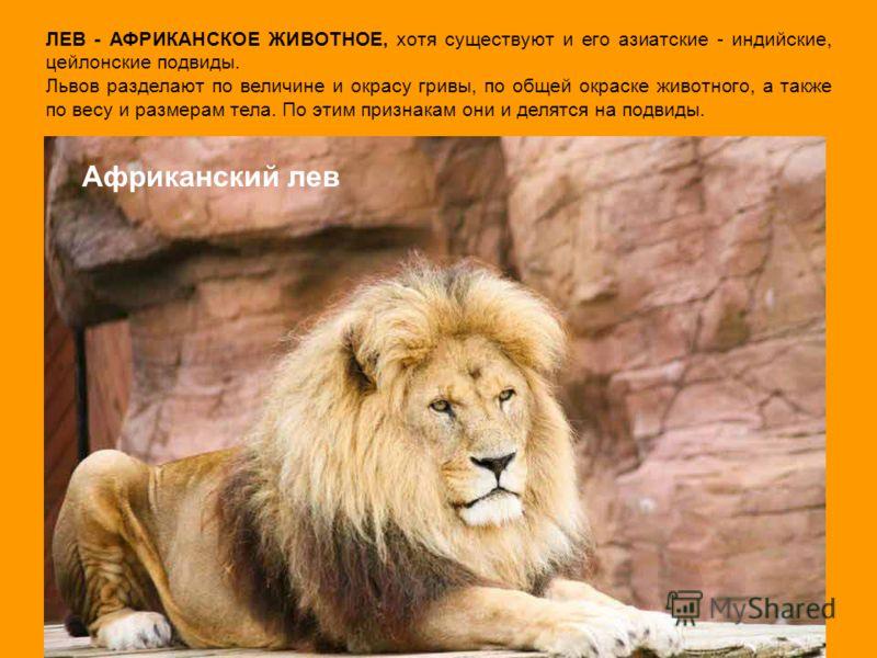 ЛЕВ - АФРИКАНСКОЕ ЖИВОТНОЕ, хотя существуют и его азиатские - индийские, цейлонские подвиды. Львов разделают по величине и окрасу гривы, по общей окраске животного, а также по весу и размерам тела. По этим признакам они и делятся на подвиды. Африканс