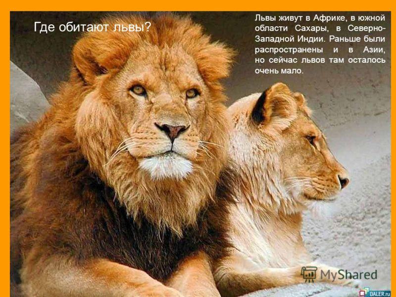 Где обитают львы? Львы живут в Африке, в южной области Сахары, в Северно- Западной Индии. Раньше были распространены и в Азии, но сейчас львов там осталось очень мало.