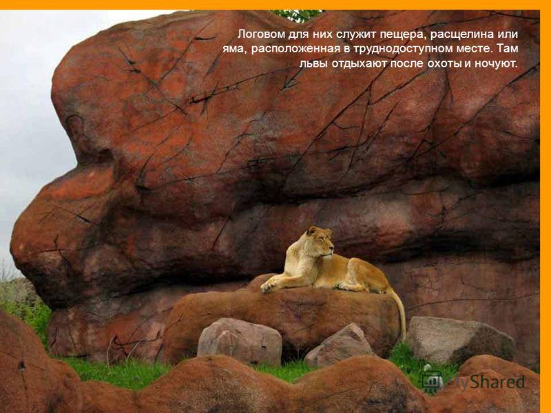 Логовом для них служит пещера, расщелина или яма, расположенная в труднодоступном месте. Там львы отдыхают после охоты и ночуют.