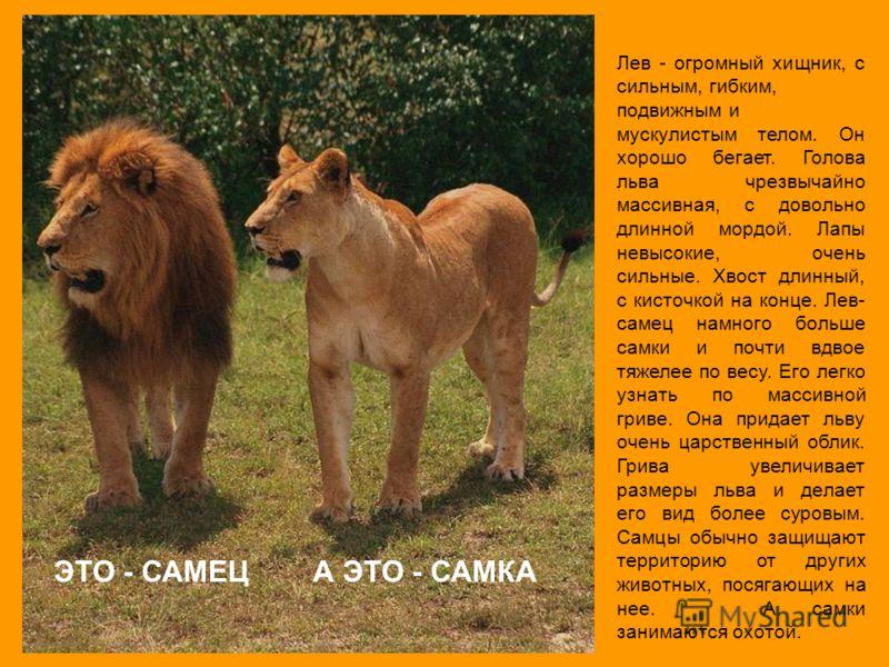 Лев - огромный хищник, с сильным, гибким, подвижным и мускулистым телом. Он хорошо бегает. Голова льва чрезвычайно массивная, с довольно длинной мордой. Лапы невысокие, очень сильные. Хвост длинный, с кисточкой на конце. Лев- самец намного больше сам