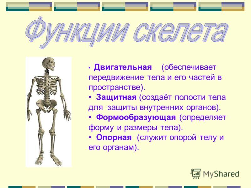 Двигательная (обеспечивает передвижение тела и его частей в пространстве). Защитная (создаёт полости тела для защиты внутренних органов). Формообразующая (определяет форму и размеры тела). Опорная (служит опорой телу и его органам).