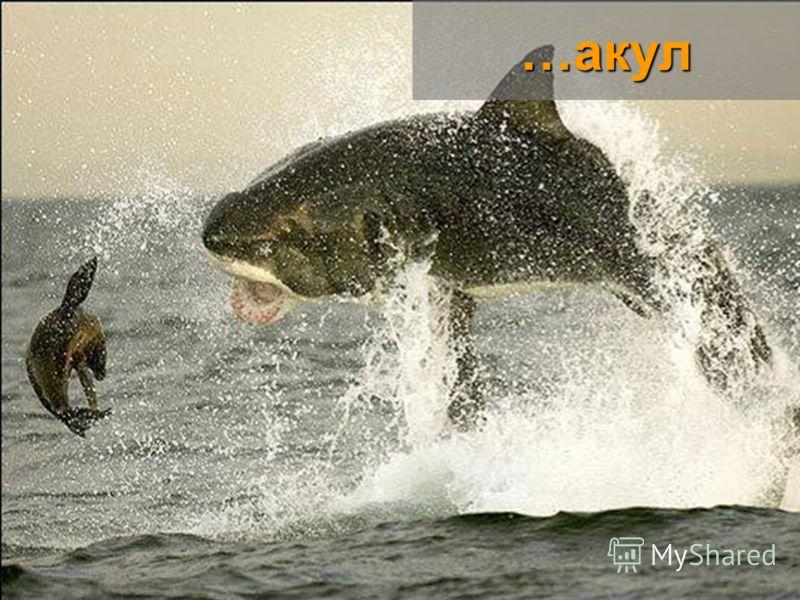 …акул