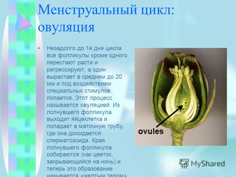 Менструальный цикл: овуляция Незадолго до 14 дня цикла все фолликулы кроме одного перестают расти и регрессируют, а один вырастает в среднем до 20 мм и под воздействием специальных стимулов лопается. Этот процесс называется овуляцией. Из лопнувшего ф