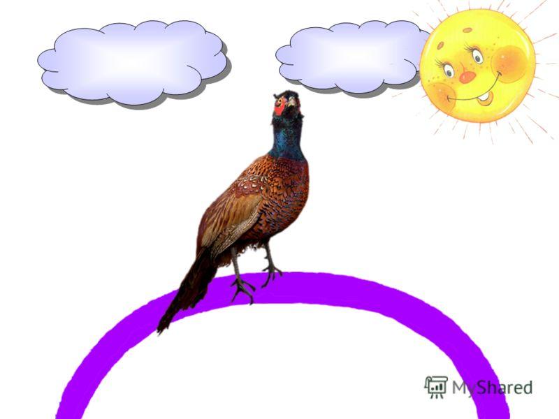 Фазан – лесная птица-курица – на фиолетовой паркуется.