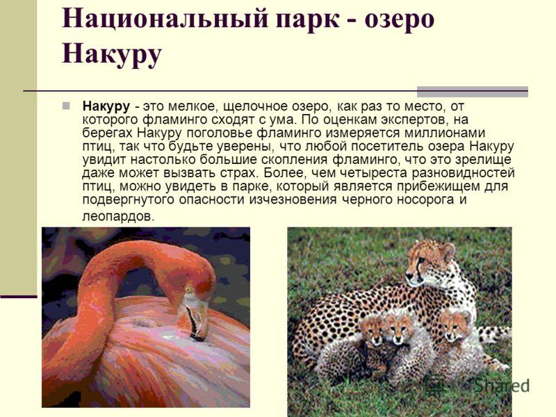 Национальный парк - озеро Накуру Накуру - это мелкое, щелочное озеро, как раз то место, от которого фламинго сходят с ума. По оценкам экспертов, на берегах Накуру поголовье фламинго измеряется миллионами птиц, так что будьте уверены, что любой посети