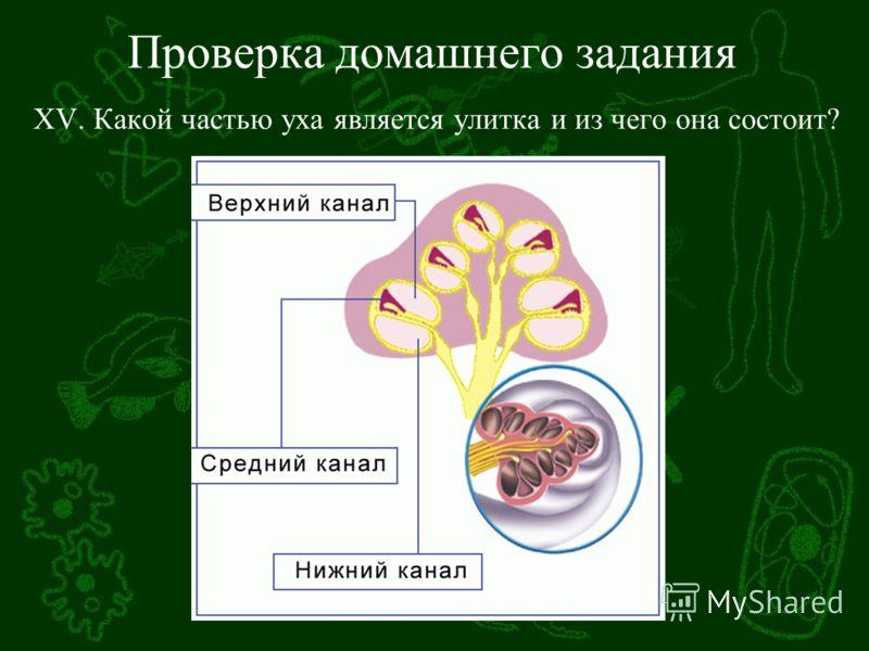 Проверка домашнего задания XV. Какой частью уха является улитка и из чего она состоит?