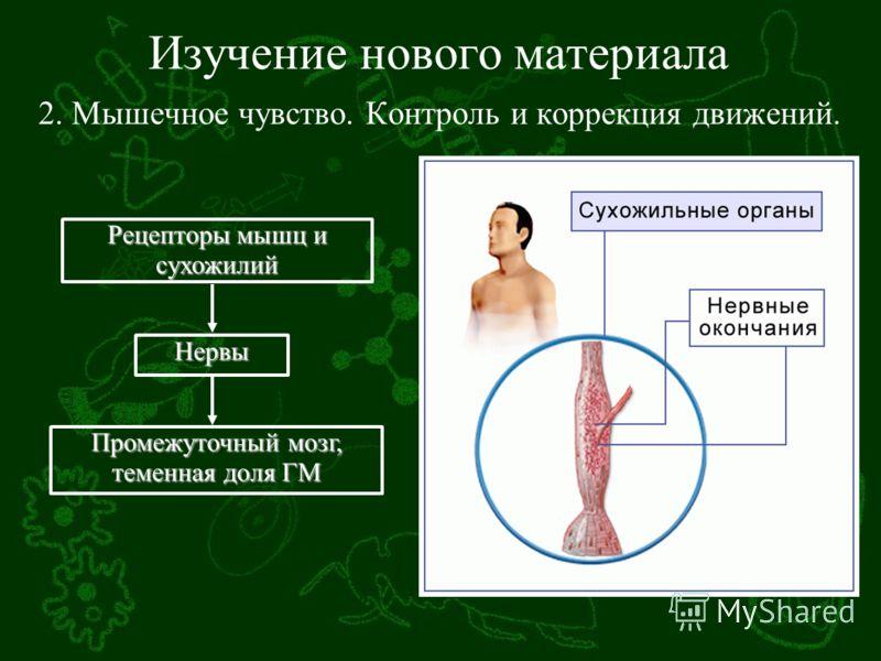 Изучение нового материала 2. Мышечное чувство. Контроль и коррекция движений. Рецепторы мышц и сухожилий Нервы Промежуточный мозг, теменная доля ГМ