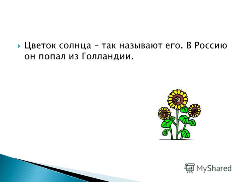 Цветок солнца – так называют его. В Россию он попал из Голландии.