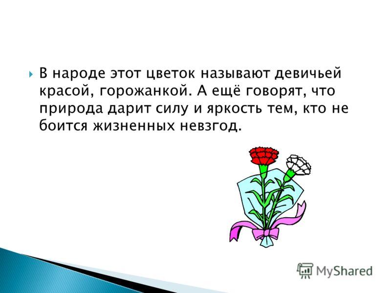 В народе этот цветок называют девичьей красой, горожанкой. А ещё говорят, что природа дарит силу и яркость тем, кто не боится жизненных невзгод.