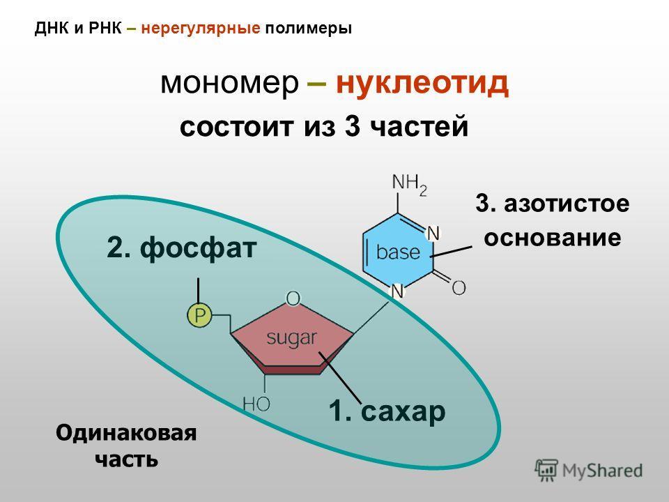 ДНК и РНК – нерегулярные полимеры мономер – нуклеотид 2. фосфат 1. сахар 3. азотистое основание Одинаковая часть состоит из 3 частей