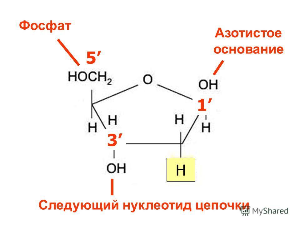 3 H 1 5 3 Азотистое основание Фосфат Следующий нуклеотид цепочки