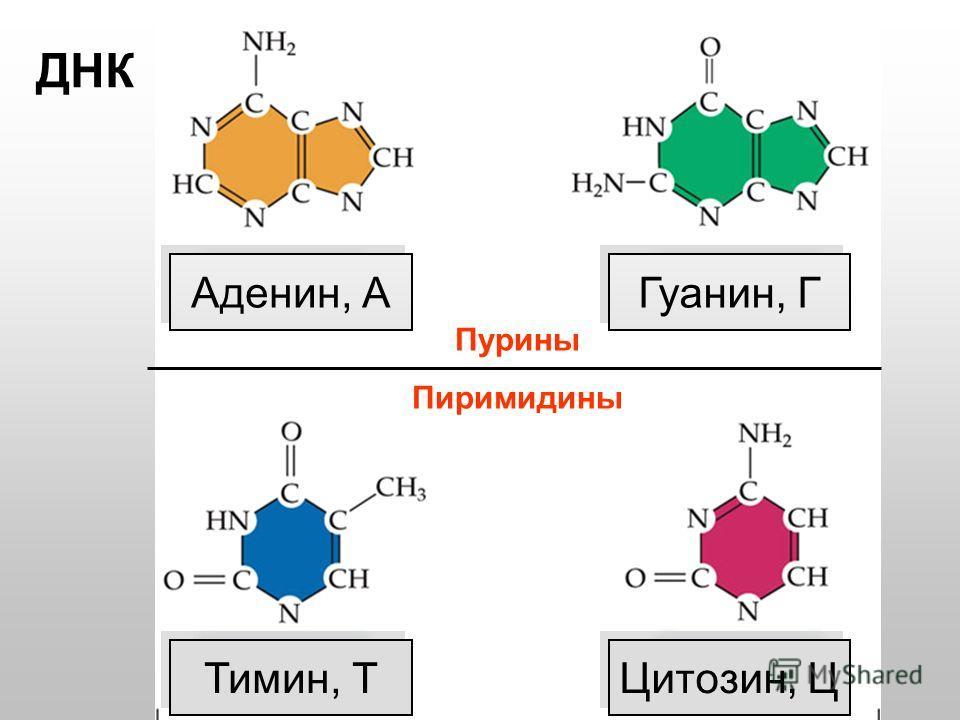 Пурины Пиримидины Тимин, Т Цитозин, Ц Аденин, А Гуанин, Г ДНК