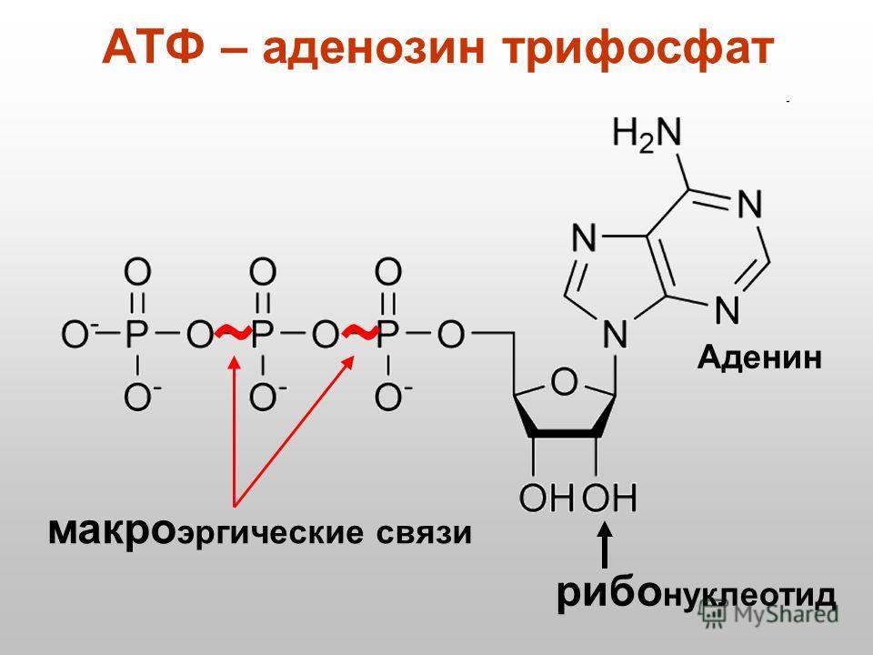 АТФ – аденозинтрифосфат рио нуклеотид макроэргические связи Аденин