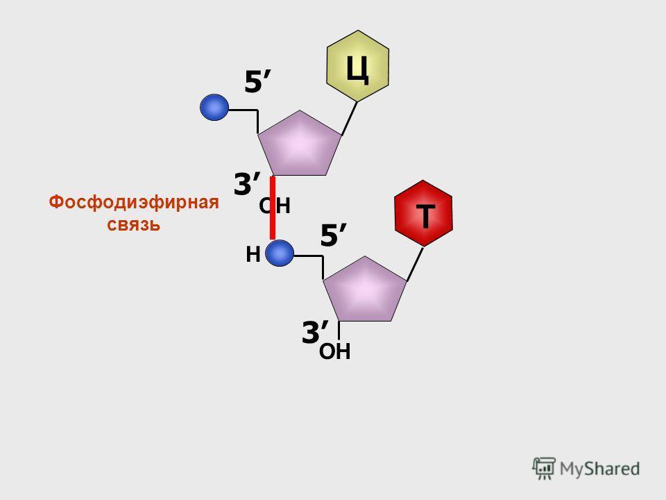 3 5 Ц 3 5 Т Н Фосфодиэфирная связь