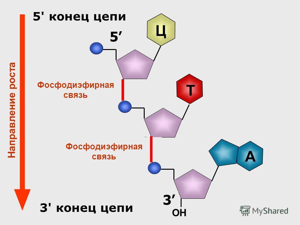 3 Т ОН 5 Ц Фосфодиэфирная связь A 3 ОН 5 5' конец цепи 3' конец цепи Фосфодиэфирная связь Направление роста