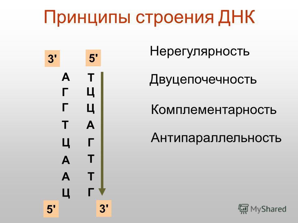 Принципы строения ДНК А Г Г Т Ц А А Ц Нерегулярность Двуцепочечность Ц Ц Комплементарность А Г Т Т Г Антипараллельность 3'3' 5'5' 5'5' 3'3' Т