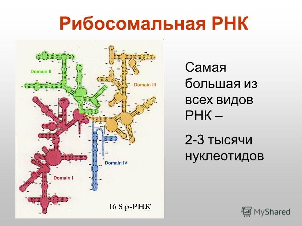 Рибосомальная РНК 16 S р-РНК Самая большая из всех видов РНК – 2-3 тысячи нуклеотидов